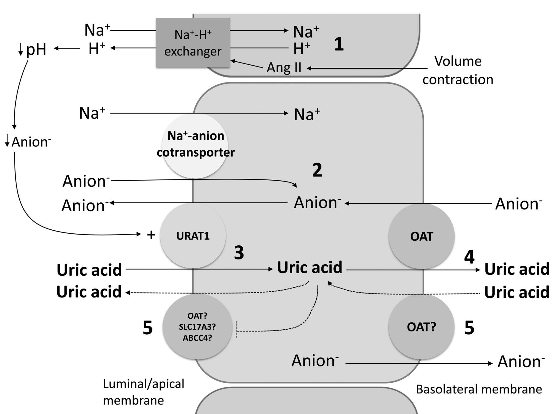 can diuretics cause high uric acid